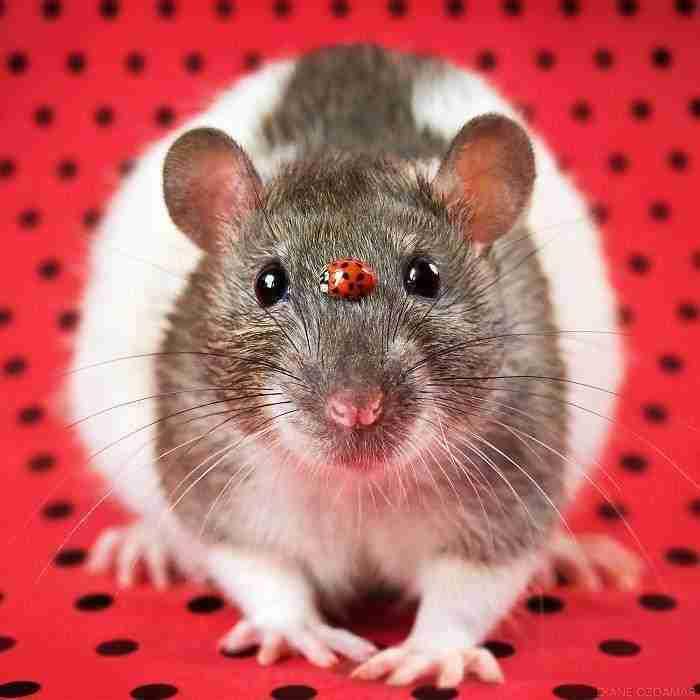 1500397731 37 he pasado anos fotografiando ratas para romper su imagen negativa retratandolas de forma adorable - He pasado años fotografiando ratas para romper su imagen negativa retratándolas de forma adorable