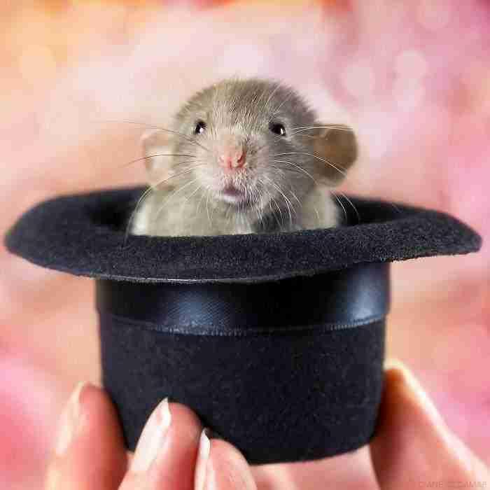 1500397731 38 he pasado anos fotografiando ratas para romper su imagen negativa retratandolas de forma adorable - He pasado años fotografiando ratas para romper su imagen negativa retratándolas de forma adorable