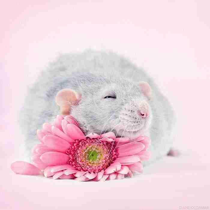 1500397731 573 he pasado anos fotografiando ratas para romper su imagen negativa retratandolas de forma adorable - He pasado años fotografiando ratas para romper su imagen negativa retratándolas de forma adorable