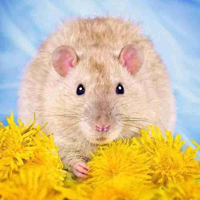 1500397731 597 he pasado anos fotografiando ratas para romper su imagen negativa retratandolas de forma adorable - He pasado años fotografiando ratas para romper su imagen negativa retratándolas de forma adorable