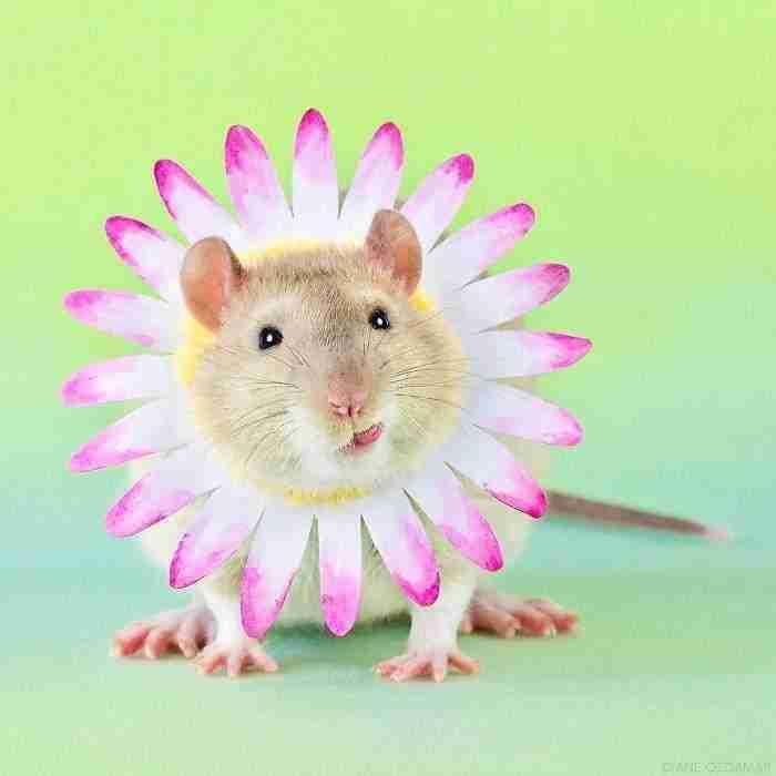 1500397731 813 he pasado anos fotografiando ratas para romper su imagen negativa retratandolas de forma adorable - He pasado años fotografiando ratas para romper su imagen negativa retratándolas de forma adorable