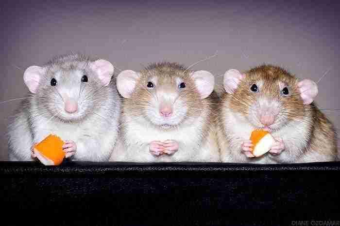 1500397731 988 he pasado anos fotografiando ratas para romper su imagen negativa retratandolas de forma adorable - He pasado años fotografiando ratas para romper su imagen negativa retratándolas de forma adorable
