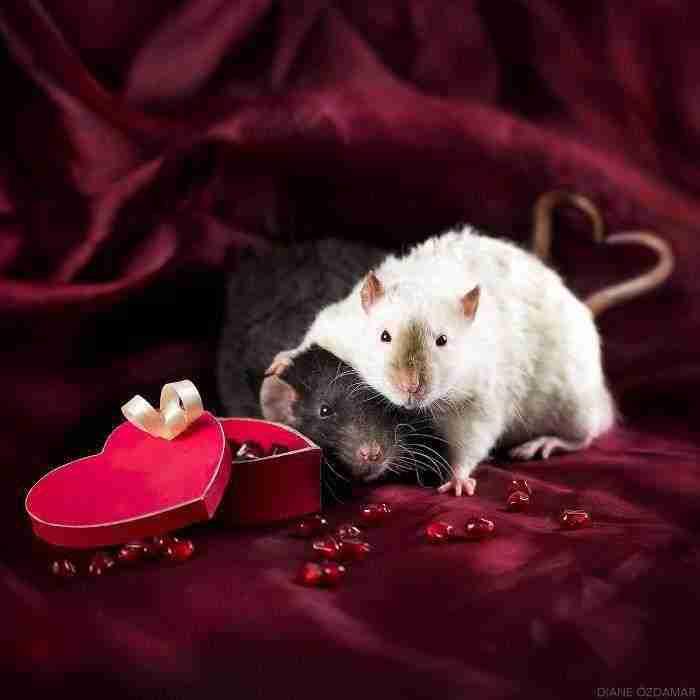 1500397732 145 he pasado anos fotografiando ratas para romper su imagen negativa retratandolas de forma adorable - He pasado años fotografiando ratas para romper su imagen negativa retratándolas de forma adorable
