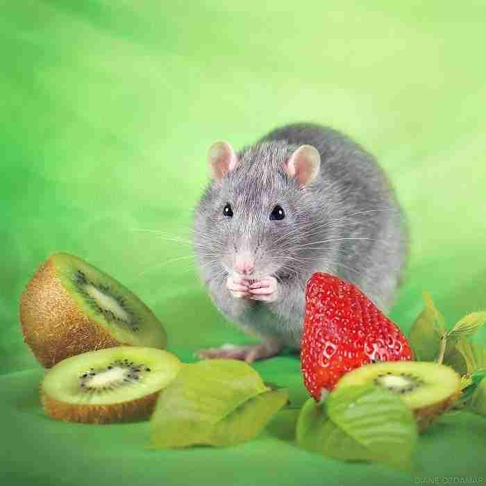 1500397732 188 he pasado anos fotografiando ratas para romper su imagen negativa retratandolas de forma adorable - He pasado años fotografiando ratas para romper su imagen negativa retratándolas de forma adorable