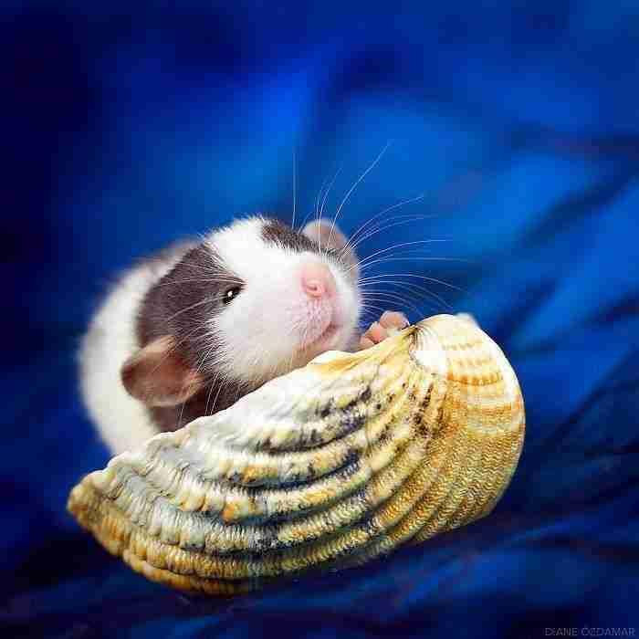 1500397732 206 he pasado anos fotografiando ratas para romper su imagen negativa retratandolas de forma adorable - He pasado años fotografiando ratas para romper su imagen negativa retratándolas de forma adorable