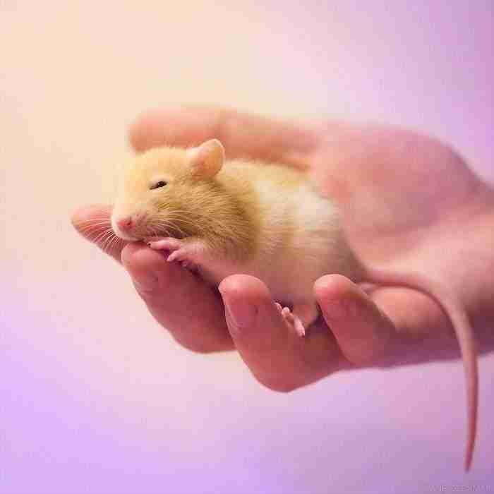 1500397732 216 he pasado anos fotografiando ratas para romper su imagen negativa retratandolas de forma adorable - He pasado años fotografiando ratas para romper su imagen negativa retratándolas de forma adorable