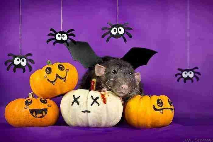 1500397732 226 he pasado anos fotografiando ratas para romper su imagen negativa retratandolas de forma adorable - He pasado años fotografiando ratas para romper su imagen negativa retratándolas de forma adorable