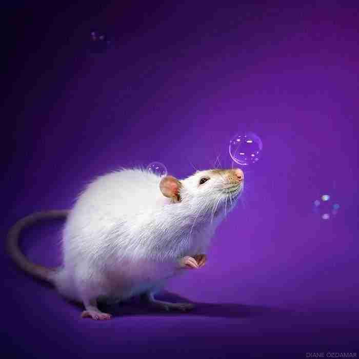 1500397732 419 he pasado anos fotografiando ratas para romper su imagen negativa retratandolas de forma adorable - He pasado años fotografiando ratas para romper su imagen negativa retratándolas de forma adorable