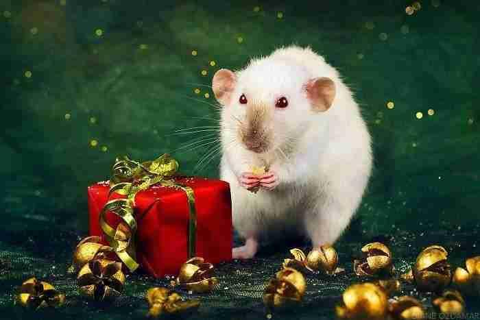 1500397732 451 he pasado anos fotografiando ratas para romper su imagen negativa retratandolas de forma adorable - He pasado años fotografiando ratas para romper su imagen negativa retratándolas de forma adorable