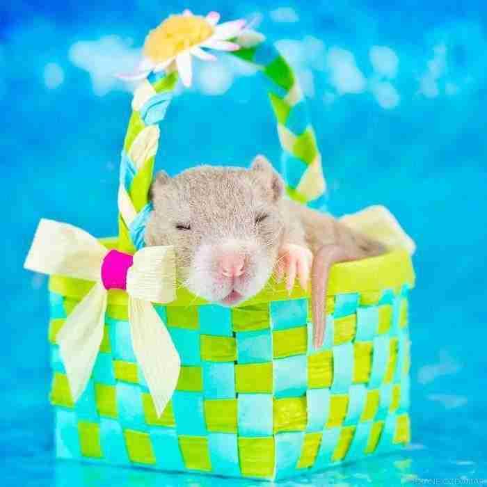 1500397732 476 he pasado anos fotografiando ratas para romper su imagen negativa retratandolas de forma adorable - He pasado años fotografiando ratas para romper su imagen negativa retratándolas de forma adorable