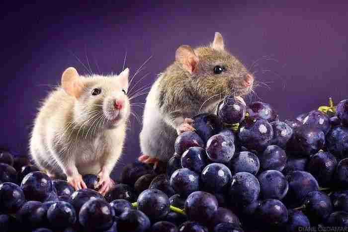 1500397732 613 he pasado anos fotografiando ratas para romper su imagen negativa retratandolas de forma adorable - He pasado años fotografiando ratas para romper su imagen negativa retratándolas de forma adorable