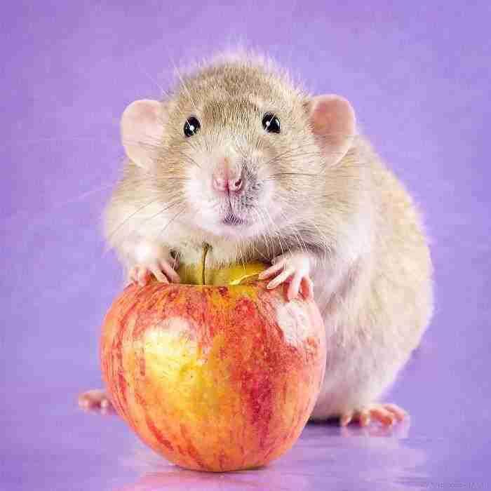 1500397732 86 he pasado anos fotografiando ratas para romper su imagen negativa retratandolas de forma adorable - He pasado años fotografiando ratas para romper su imagen negativa retratándolas de forma adorable