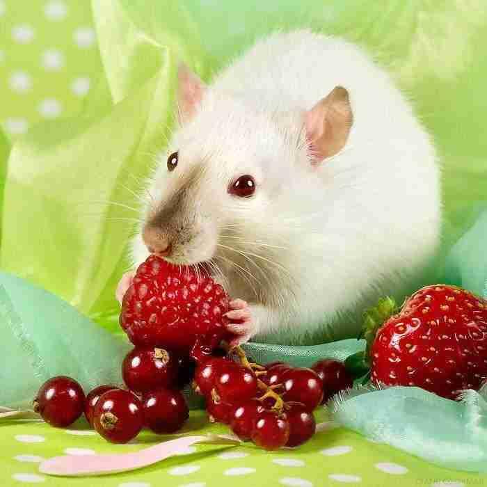 1500397732 879 he pasado anos fotografiando ratas para romper su imagen negativa retratandolas de forma adorable - He pasado años fotografiando ratas para romper su imagen negativa retratándolas de forma adorable
