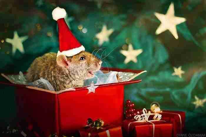 1500397732 906 he pasado anos fotografiando ratas para romper su imagen negativa retratandolas de forma adorable - He pasado años fotografiando ratas para romper su imagen negativa retratándolas de forma adorable