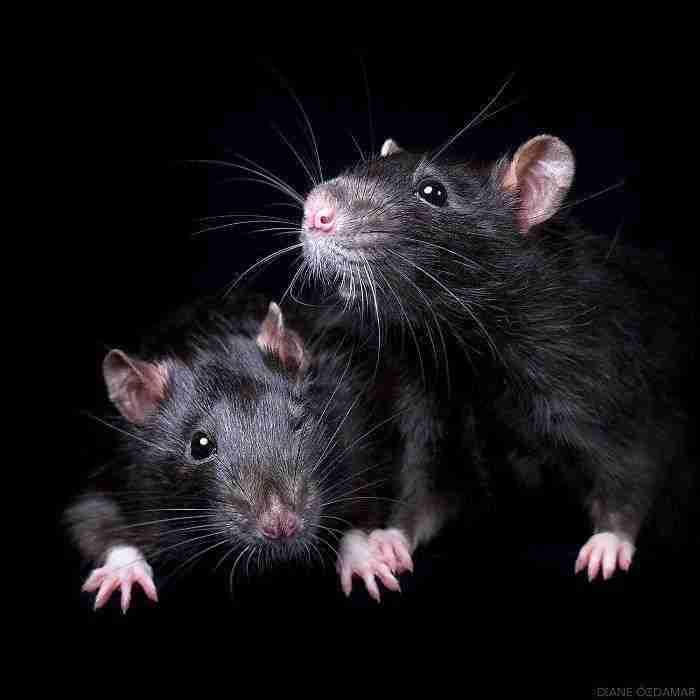 1500397732 960 he pasado anos fotografiando ratas para romper su imagen negativa retratandolas de forma adorable - He pasado años fotografiando ratas para romper su imagen negativa retratándolas de forma adorable