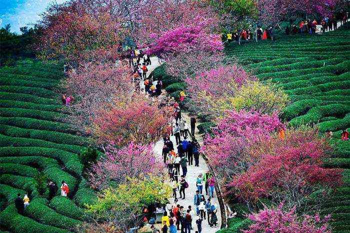 1521711141 123 han florecido los cerezos en china y probablemente sea uno de los paisajes mas increibles del planeta - Han florecido los cerezos en China, y probablemente sea uno de los paisajes más increíbles del planeta