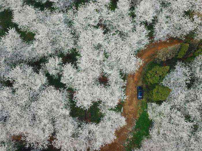 1521711141 999 han florecido los cerezos en china y probablemente sea uno de los paisajes mas increibles del planeta - Han florecido los cerezos en China, y probablemente sea uno de los paisajes más increíbles del planeta
