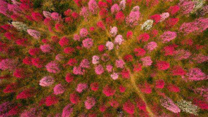 1521711142 397 han florecido los cerezos en china y probablemente sea uno de los paisajes mas increibles del planeta - Han florecido los cerezos en China, y probablemente sea uno de los paisajes más increíbles del planeta