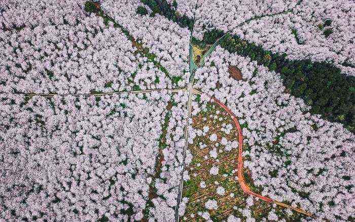 1521711142 490 han florecido los cerezos en china y probablemente sea uno de los paisajes mas increibles del planeta - Han florecido los cerezos en China, y probablemente sea uno de los paisajes más increíbles del planeta