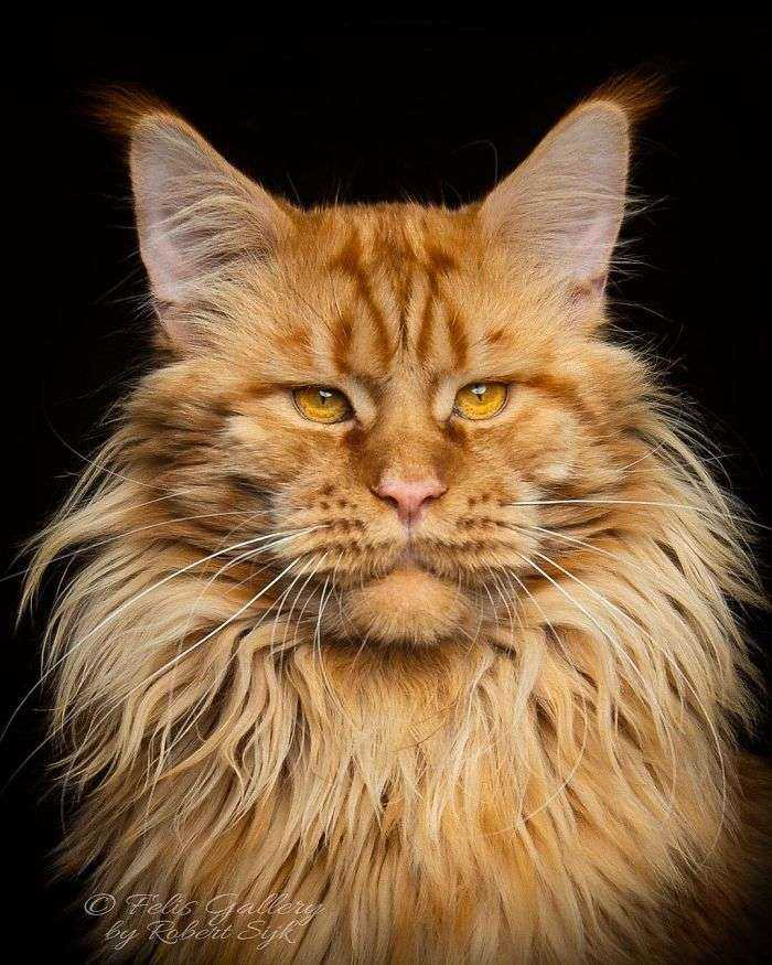 Mythical Beasts: Photographer Continues Capturing The Majestic Beauty Of Maine Coons