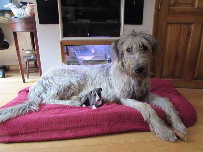 Cachorro de Whippet junto a un cachorro de lobero