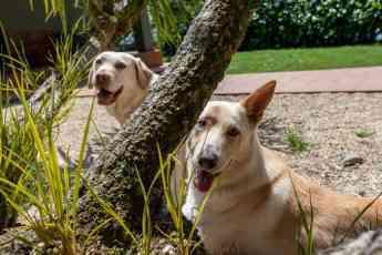 396 montegatto y el chuac pioneros en el estudio de la deteccion de la diabetes con perros - Montegatto y el CHUAC, pioneros en el estudio de la detección de la diabetes con perros