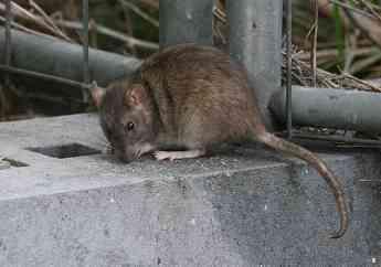 """178 adepap ratas mosquitos y cucarachas las plagas de este verano - ADEPAP: """"Ratas, mosquitos y cucarachas, las plagas de este verano"""""""